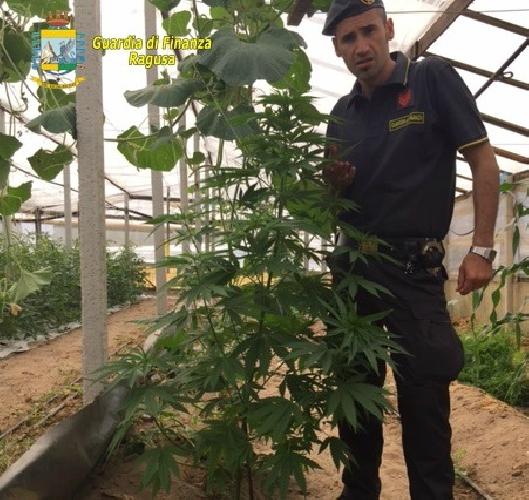https://www.ragusanews.com//immagini_articoli/16-06-2015/la-droga-fra-i-pomodori-500.jpg