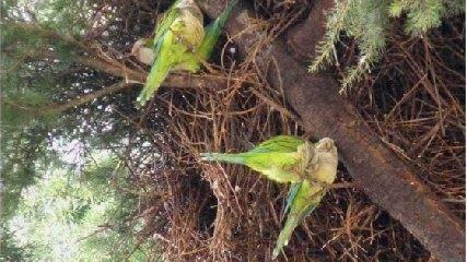 https://www.ragusanews.com//immagini_articoli/16-06-2019/clima-tropicale-anche-in-sicilia-attesa-l-invasione-di-pappagalli-verdi-240.jpg