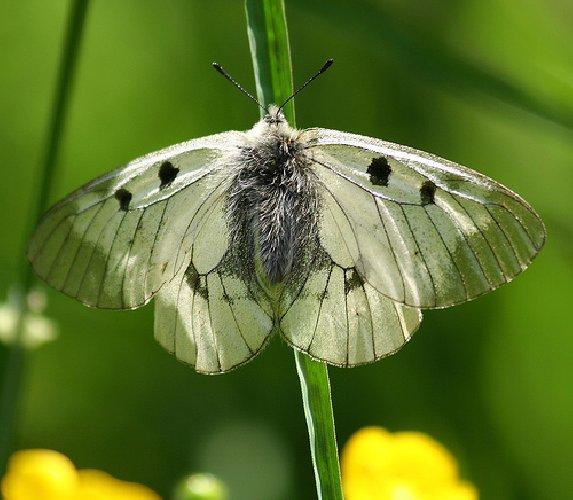 https://www.ragusanews.com//immagini_articoli/16-07-2018/farfalla-porta-nome-guccini-500.jpg