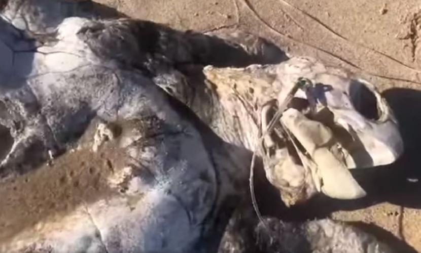 https://www.ragusanews.com//immagini_articoli/16-07-2021/tartaruga-stecchita-al-sole-con-la-lenza-ancora-in-bocca-video-500.jpg