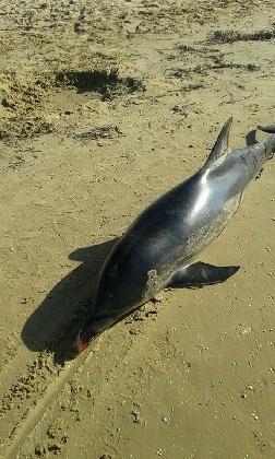 http://www.ragusanews.com//immagini_articoli/16-08-2016/spiaggia-un-delfino-a-casuzze-420.jpg