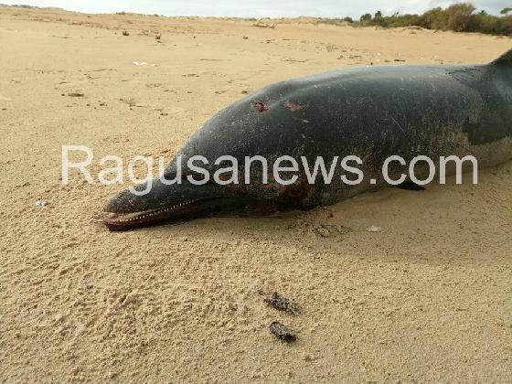 http://www.ragusanews.com//immagini_articoli/17-01-2017/spiaggiato-delfino-playa-grande-420.jpg