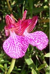 https://www.ragusanews.com//immagini_articoli/17-03-2018/primavera-diffusa-cerca-orchidee-palazzolo-acreide-240.jpg
