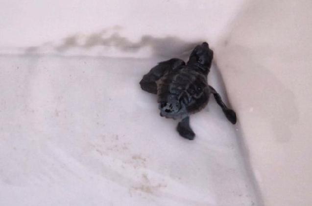 https://www.ragusanews.com//immagini_articoli/17-08-2016/punta-secca-si-schiudono-le-uova-di-tartaruga-420.jpg