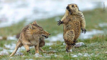 https://www.ragusanews.com//immagini_articoli/17-10-2019/marmotta-spaventata-da-una-volpe-e-la-foto-anno-240.jpg