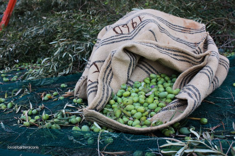 https://www.ragusanews.com//immagini_articoli/17-11-2019/1573985761-olive-verdi-schiacciate-ricetta-siciliana-1-500.jpg