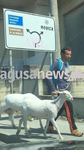 http://www.ragusanews.com//immagini_articoli/18-06-2017/modica-passeggio-animali-compagnia-pecore-500.jpg