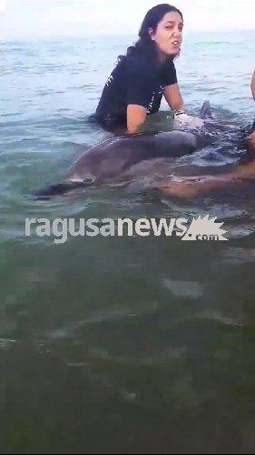 https://www.ragusanews.com//immagini_articoli/18-08-2018/delfino-spiaggia-pisciotto-soccorso-liberato-mare-500.jpg