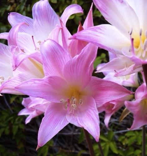http://www.ragusanews.com//immagini_articoli/18-10-2014/caldo-a-33-gradi-fino-a-giovedi-fioriscono-i-gigli-come-in-estate-500.jpg