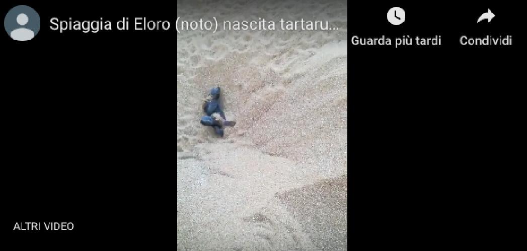 https://www.ragusanews.com//immagini_articoli/19-08-2019/abbiamo-100-tartarughine-appena-nate-video-500.png
