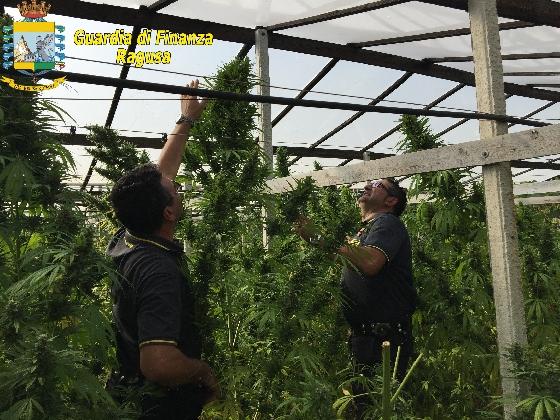 http://www.ragusanews.com//immagini_articoli/19-10-2016/una-piantagione-di-droga-quattro-arresti-a-vittoria-420.jpg