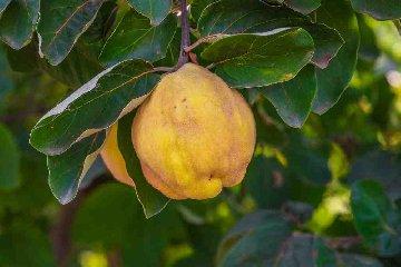 https://www.ragusanews.com//immagini_articoli/20-03-2018/oltre-grani-esistono-anche-frutti-siciliani-antichi-240.jpg