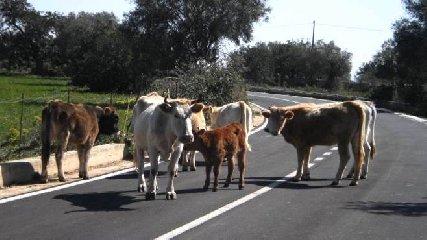 https://www.ragusanews.com//immagini_articoli/20-03-2019/mila-euro-multa-mucche-spasso-periferia-240.jpg