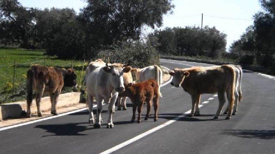 https://www.ragusanews.com//immagini_articoli/20-03-2019/mila-euro-multa-mucche-spasso-periferia-500.jpg
