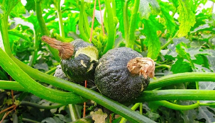 http://www.ragusanews.com//immagini_articoli/20-10-2016/new-delhi-il-virus-delle-zucchine-420.jpg