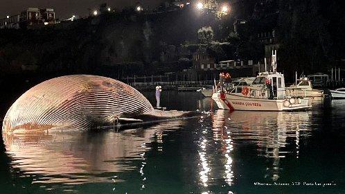 https://www.ragusanews.com//immagini_articoli/21-01-2021/la-piu-grande-balena-del-mediterraneo-trainata-in-porto-foto-video-280.jpg