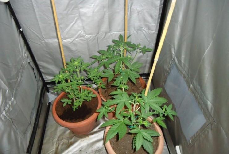 https://www.ragusanews.com//immagini_articoli/21-06-2020/per-fare-crescere-le-piante-di-droga-faceva-sentire-loro-la-musica-500.jpg