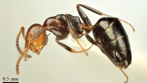 https://www.ragusanews.com//immagini_articoli/21-07-2021/1626880317-nuova-specie-di-formica-scoperta-in-sicilia-foto-1-280.jpg
