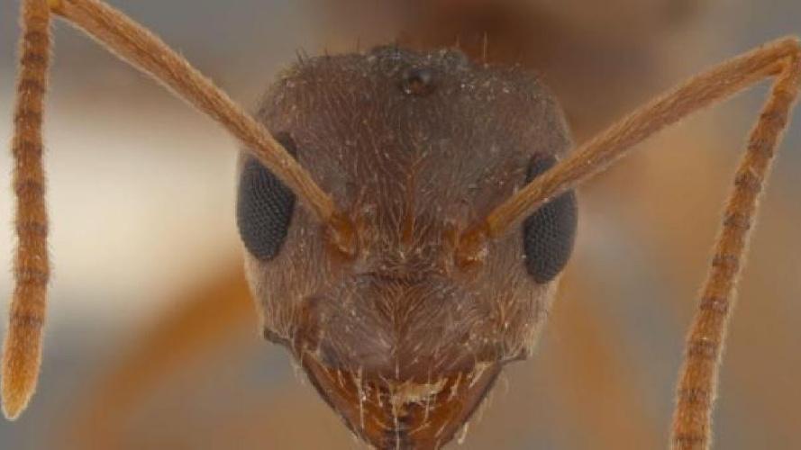 https://www.ragusanews.com//immagini_articoli/21-07-2021/nuova-specie-di-formica-scoperta-in-sicilia-foto-500.jpg