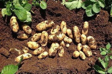 https://www.ragusanews.com//immagini_articoli/21-09-2018/patate-novelle-semina-sicilia-240.jpg