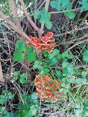 https://www.ragusanews.com//immagini_articoli/21-09-2019/1569048359-vincenzo-e-il-suo-fungo-di-carrubo-di-sei-chili-foto-2-240.jpg