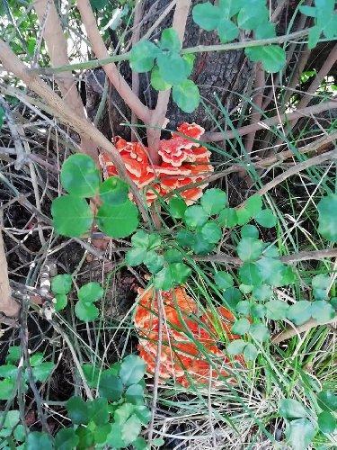 https://www.ragusanews.com//immagini_articoli/21-09-2019/1569048359-vincenzo-e-il-suo-fungo-di-carrubo-di-sei-chili-foto-2-500.jpg