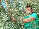 https://www.ragusanews.com//immagini_articoli/21-10-2019/scicli-perche-puntare-olivicoltura-100.jpg