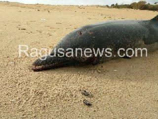 http://www.ragusanews.com//immagini_articoli/22-01-2018/carcassa-delfino-spiaggiato-playa-grande-240.jpg