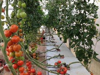https://www.ragusanews.com//immagini_articoli/22-02-2019/scicli-sperimenta-futuro-serricoltura-alto-reddito-240.jpg