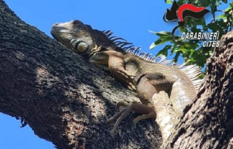 https://www.ragusanews.com//immagini_articoli/22-07-2020/prima-il-pitone-poi-l-iguana-palermo-e-uno-zoo-500.jpg
