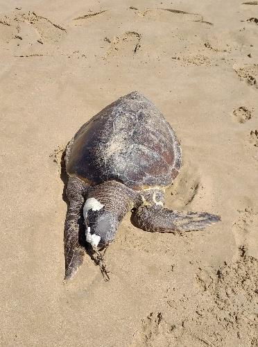 https://www.ragusanews.com//immagini_articoli/22-07-2021/1626945313-scoglitti-tartaruga-spiaggiata-una-lenta-mattanza-foto-1-500.jpg