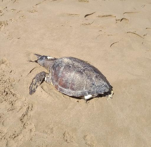 https://www.ragusanews.com//immagini_articoli/22-07-2021/1626945315-scoglitti-tartaruga-spiaggiata-una-lenta-mattanza-foto-2-500.jpg