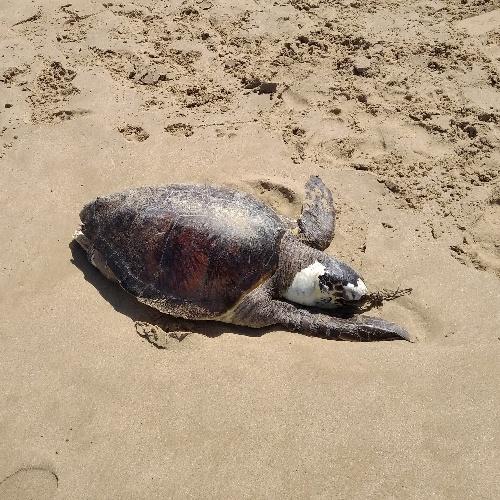 https://www.ragusanews.com//immagini_articoli/22-07-2021/scoglitti-tartaruga-spiaggiata-una-lenta-mattanza-foto-500.jpg