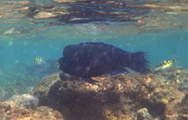 https://www.ragusanews.com//immagini_articoli/22-08-2017/canale-sicilia-pescatori-attenti-arrivato-pesce-pappagallo-500.jpg