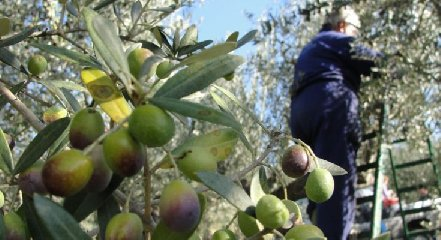 https://www.ragusanews.com//immagini_articoli/22-09-2018/vittoriese-muore-mentre-raccoglie-olive-240.jpg