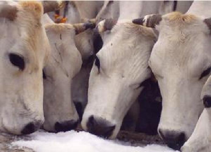 https://www.ragusanews.com//immagini_articoli/22-11-2014/dissequestrato-allevamento-modica-mucche-non-sono-dopate-500.jpg