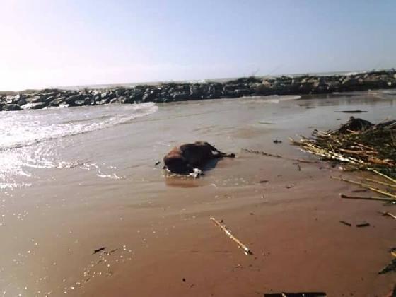 http://www.ragusanews.com//immagini_articoli/23-01-2017/mucca-trascinata-torrente-modica-scicli-fino-mare-420.jpg