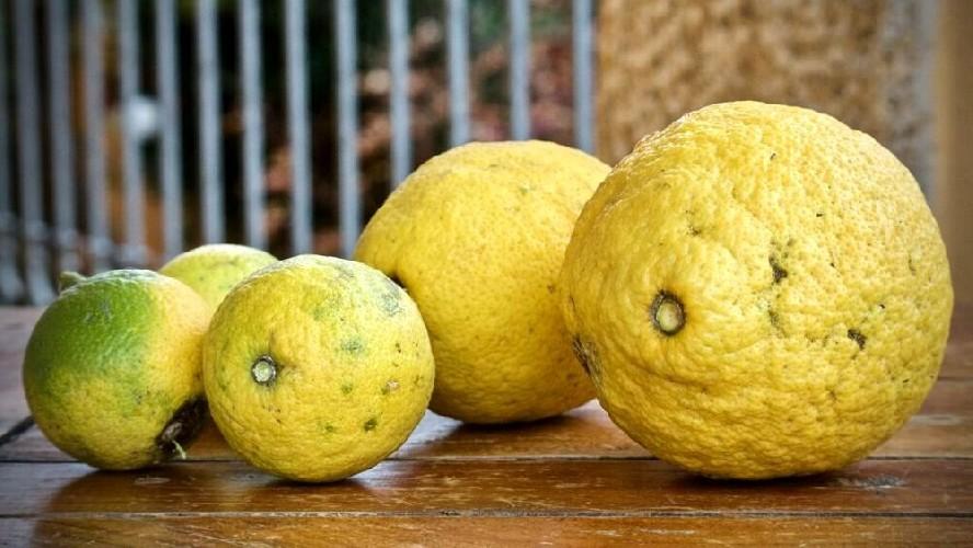 https://www.ragusanews.com//immagini_articoli/23-07-2020/sicilia-respinti-limoni-argentini-colpiti-da-pericoloso-fungo-500.jpg