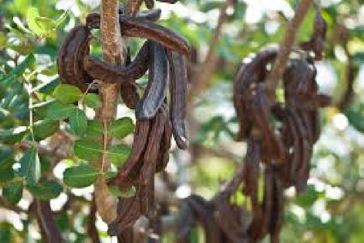 https://www.ragusanews.com//immagini_articoli/23-08-2020/cade-dall-albero-mentre-raccoglie-carrube-e-morto-500.jpg
