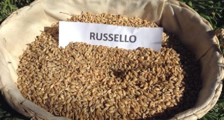 http://www.ragusanews.com//immagini_articoli/24-04-2018/modica-vuol-tutelare-grano-russello-240.jpg