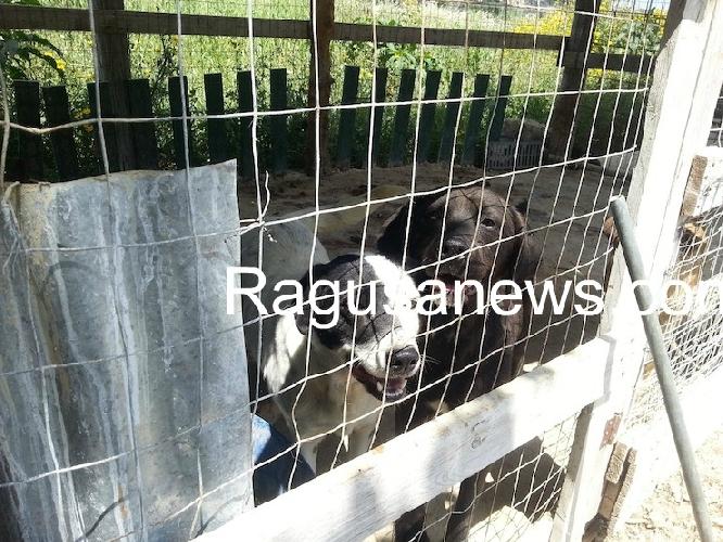 https://www.ragusanews.com//immagini_articoli/24-06-2014/cani-di-lucenti-molti-sono-partiti-per-il-nord-500.jpg
