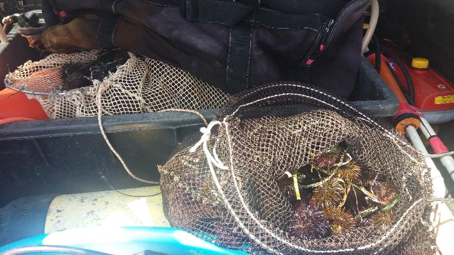http://www.ragusanews.com//immagini_articoli/24-08-2017/pesca-illegalmente-ricci-mare-sequestrati-500.jpg