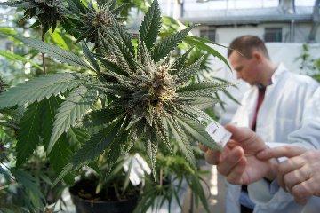 https://www.ragusanews.com//immagini_articoli/25-05-2018/marijuana-legale-produzione-commercio-riconosciuti-governo-240.jpg
