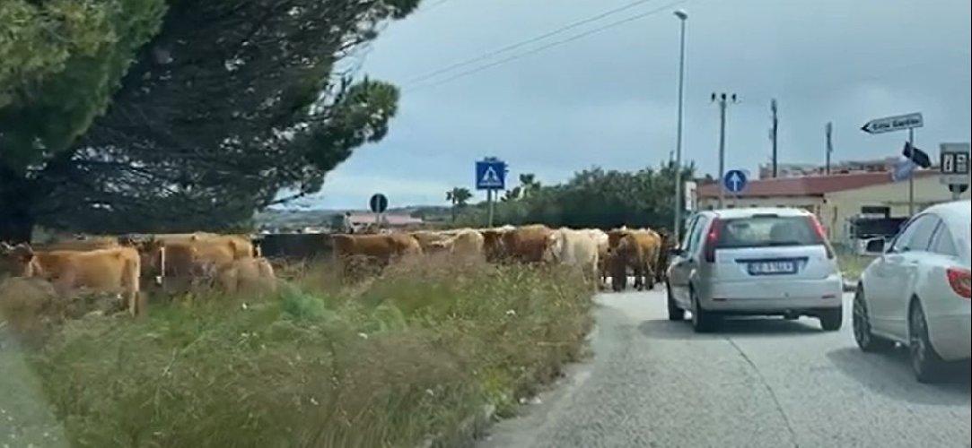 https://www.ragusanews.com//immagini_articoli/26-03-2021/siracusa-citta-fattoria-dopo-maiali-e-cavalli-sfilano-le-mucche-video-500.jpg