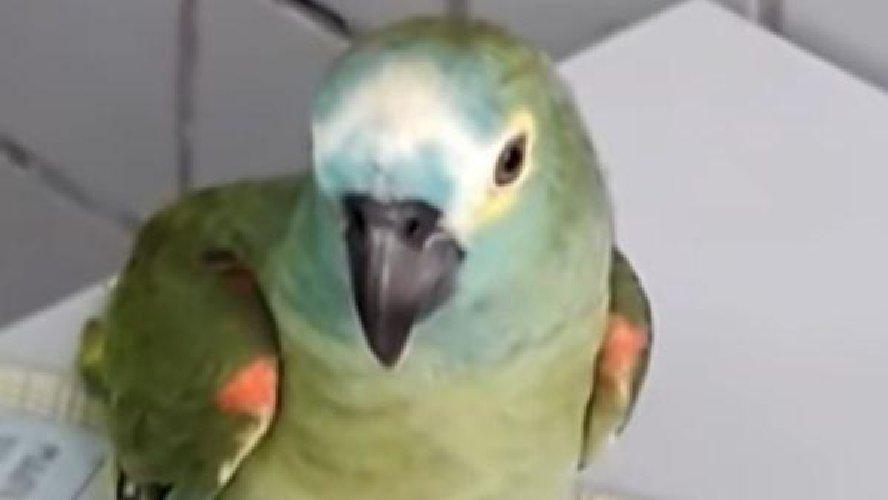 https://www.ragusanews.com//immagini_articoli/26-04-2019/faceva-il-palo-al-padrone-spacciatore-arrestato-un-pappagallo-500.jpg