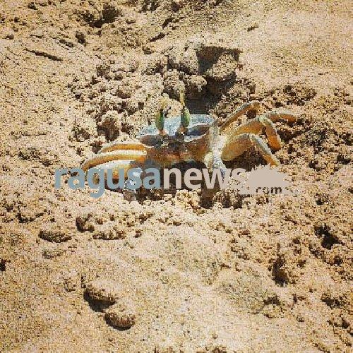 https://www.ragusanews.com//immagini_articoli/26-07-2018/granchio-fantasma-marina-ragusa-500.jpg