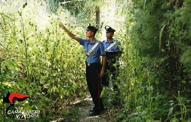 http://www.ragusanews.com//immagini_articoli/26-08-2017/piantagione-marijuana-vittoria-240.jpg