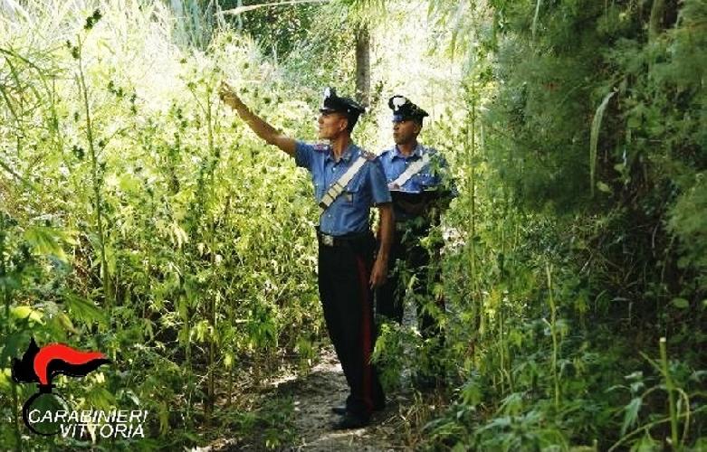 http://www.ragusanews.com//immagini_articoli/26-08-2017/piantagione-marijuana-vittoria-500.jpg