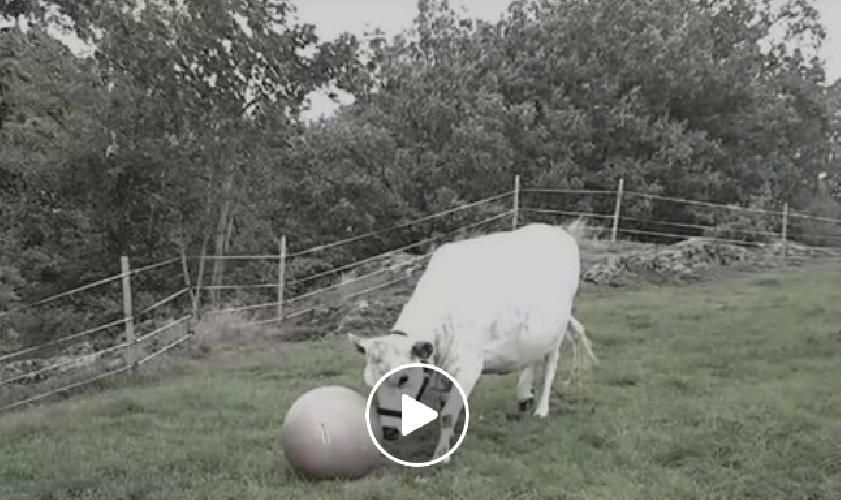 https://www.ragusanews.com//immagini_articoli/26-09-2018/mucca-gioca-calcio-video-500.png