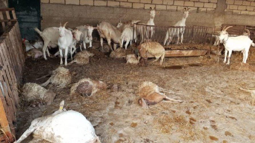https://www.ragusanews.com//immagini_articoli/26-10-2019/60-pecore-morte-nubifragio-25-ottobre-500.jpg